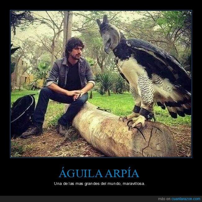 águila,arpía,curiosidades