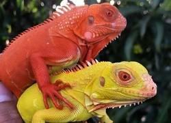 Enlace a Reptiles coloridos