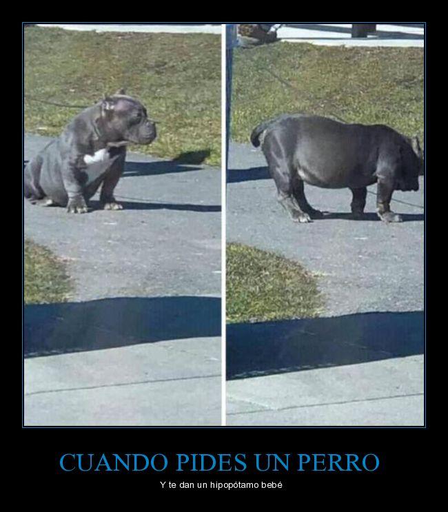 hipopótamo,parecidos,perro,wtf