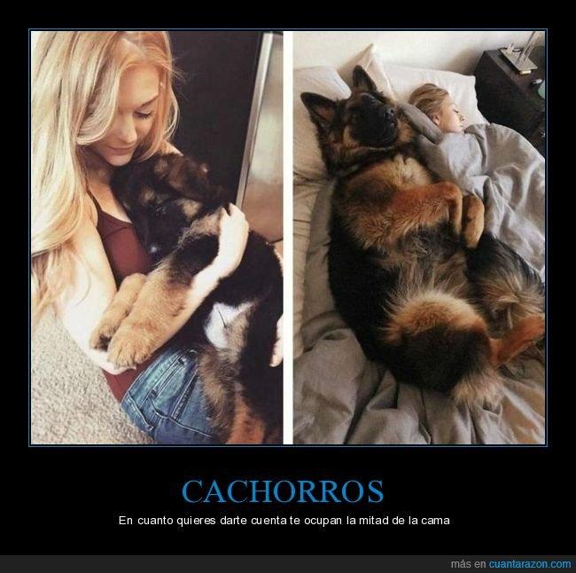 antes,cachorro,cama,después,perro