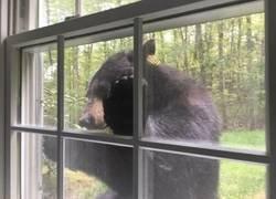 Enlace a El oso cotilla