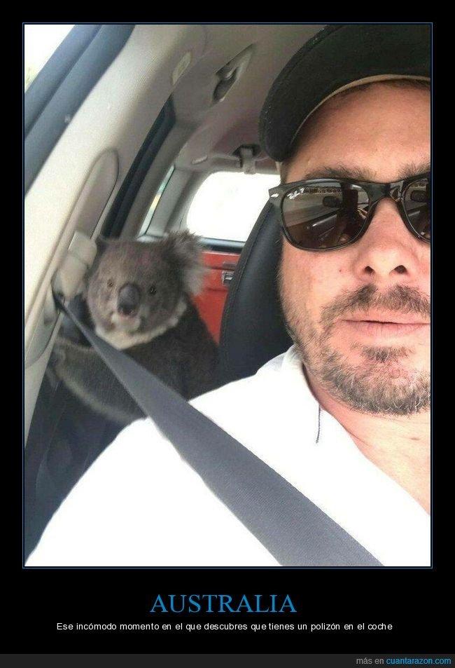 australia,coche,koala