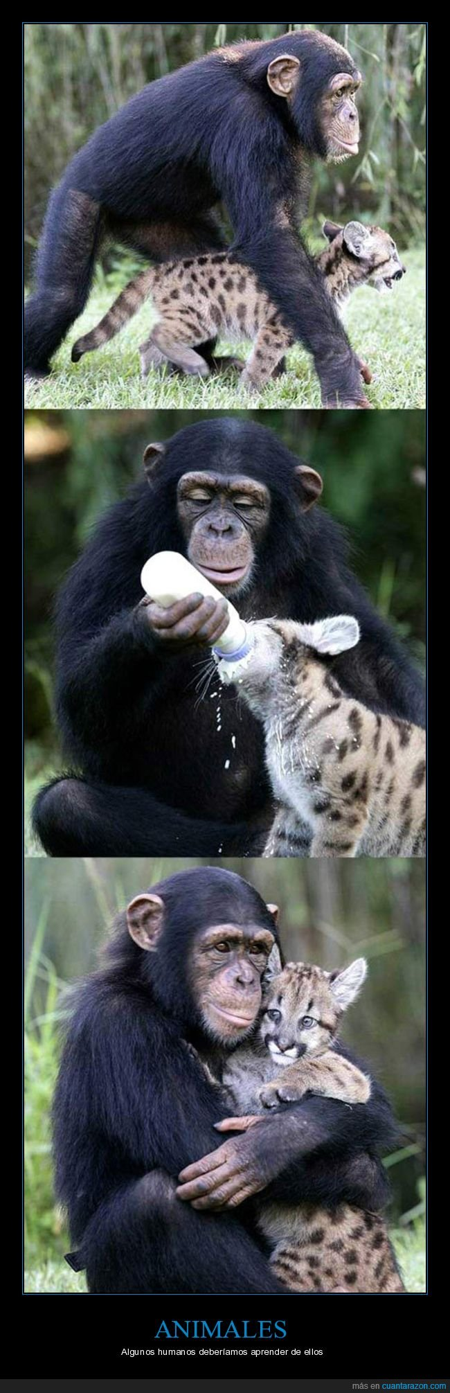 animales,biberón,lince,mono