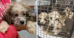 Enlace a Un hombre encontró 6 cachorros sin pelo abandonados, nadie sabía que eran de la raza Gran Pirineo