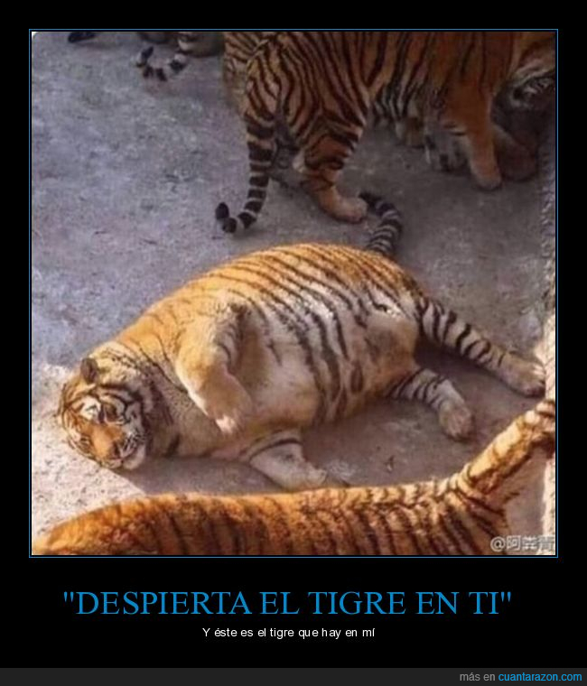 despertar,siesta,tigre
