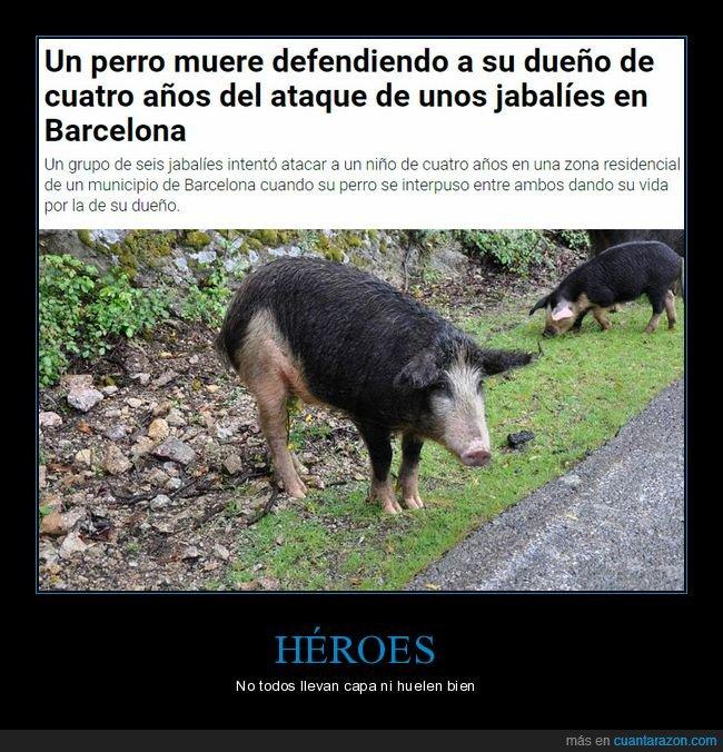 cerdo,jabalíes,niño,salvar