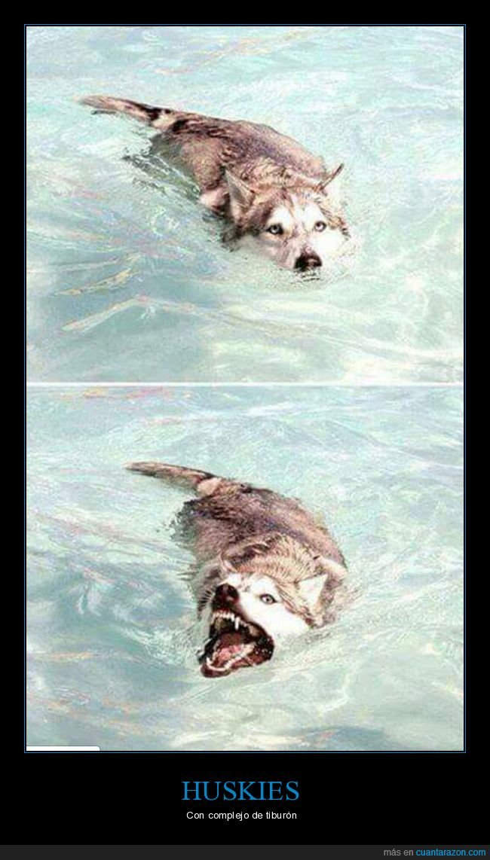 husky,perros,piscina,tiburon