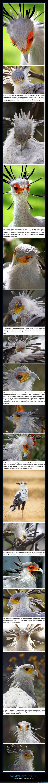 curiosidades,pájaro secretario