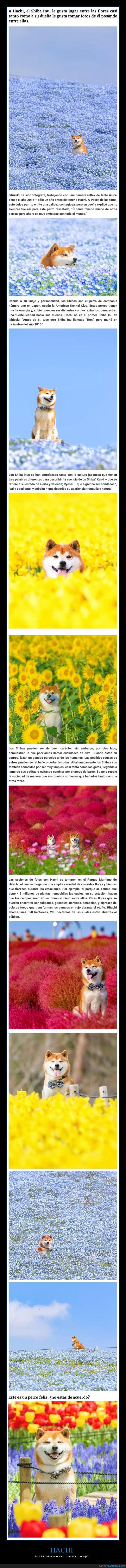 flores,perros,shiba inu