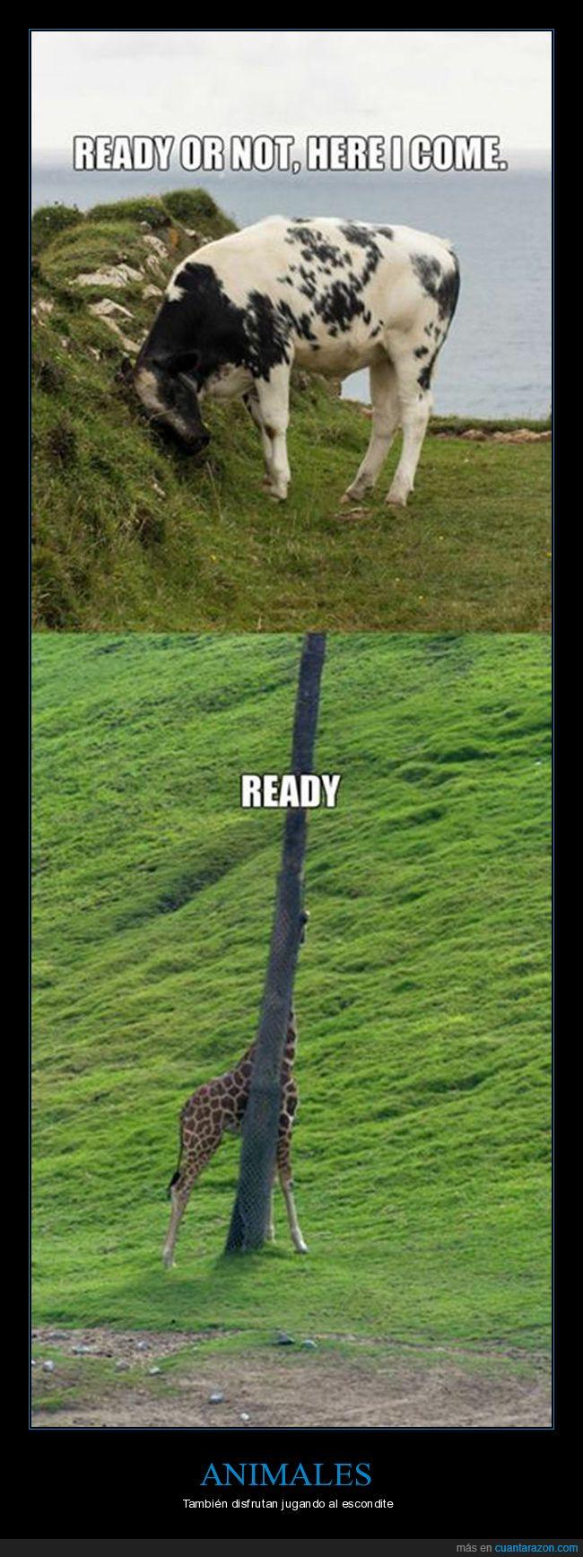 escondite,jirafa,vaca