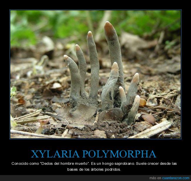 curiosidades,dedos del hombre muerto,hongo,xylaria polymorpha