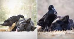 Enlace a Fotografiando el vínculo especial entre un perro y un pato para mostrar cómo pueden ser de sensibles los animales