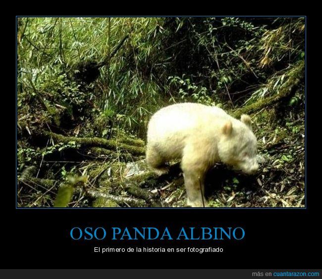 albino,oso panda
