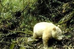 Enlace a Avistan por primera vez un panda albino en una reserva de China