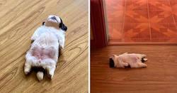 """Enlace a Este cachorro duerme como si se hubiera """"apagado"""", y es ridículamente adorable"""