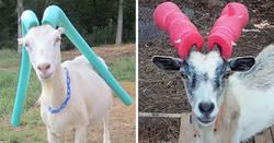 Enlace a Fotos de cabras revoltosas a las que hubo que poner churros de piscina por seguridad