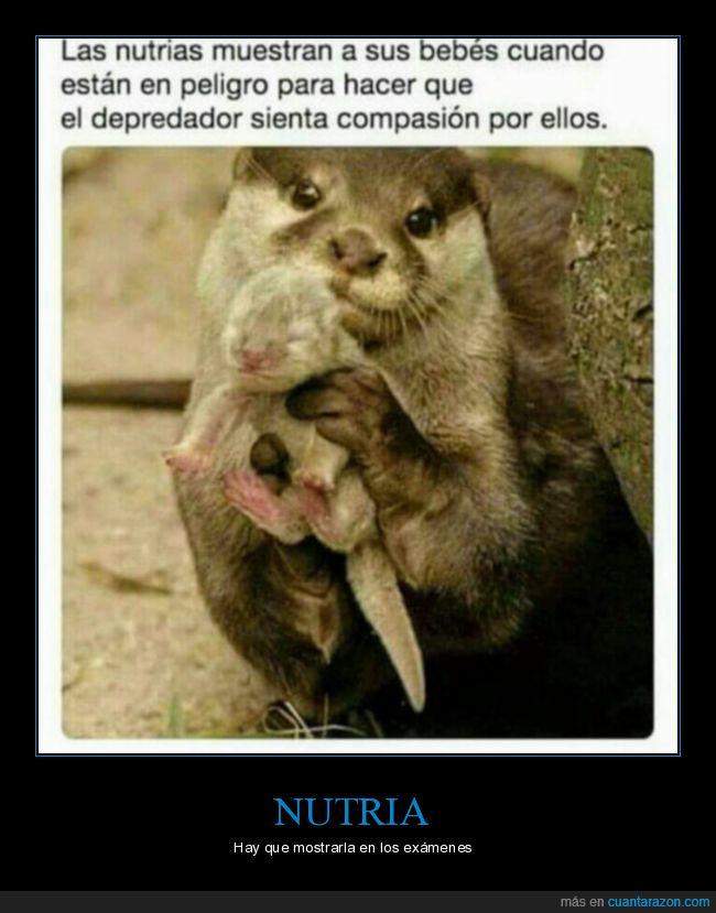 bebés,compasión,curiosidades,exámenes,mostrar,nutria,peligro