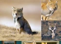 Enlace a La inquietante mirada del zorro tibetano
