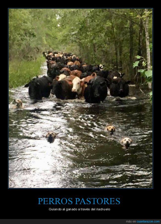 guiando,perros,río,vacas
