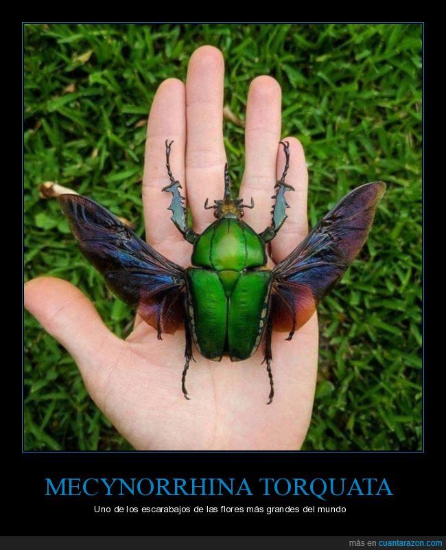 curiosidades,escarabajo,gigante