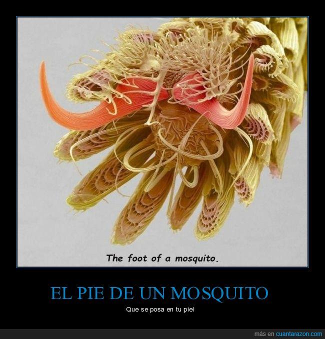 curiosidades,mosquito,pie