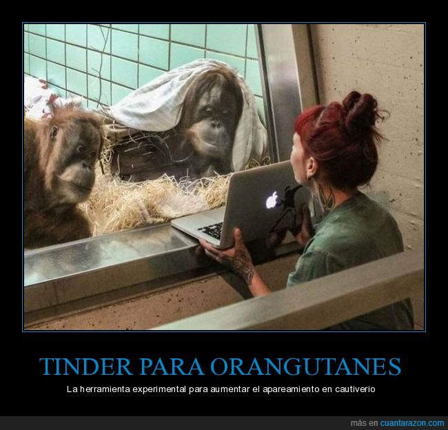 apareamiento,cautiverio,orangutanes,ordenador,tinder