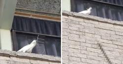 Enlace a Esta cacatúa enfadada arrancó unos pinchos anti-pájaros y los tiró al suelo