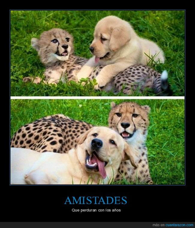amigos,guepardo,perros
