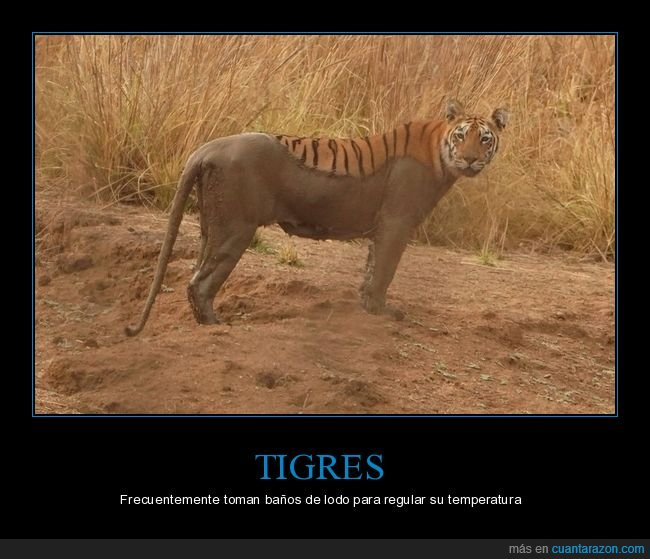 baño,lodo,tigre