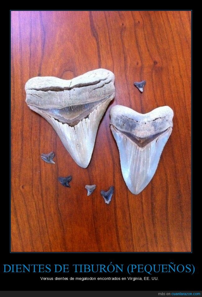 comparativa,dientes,megalodón,tiburón