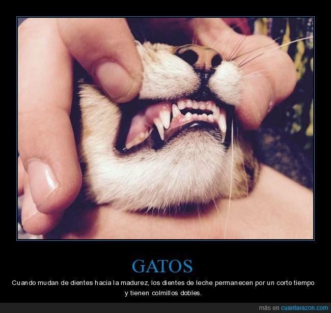 curiosidades,dientes,dientes de leche,gatos