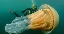 Enlace a Una medusa del tamaño de una persona