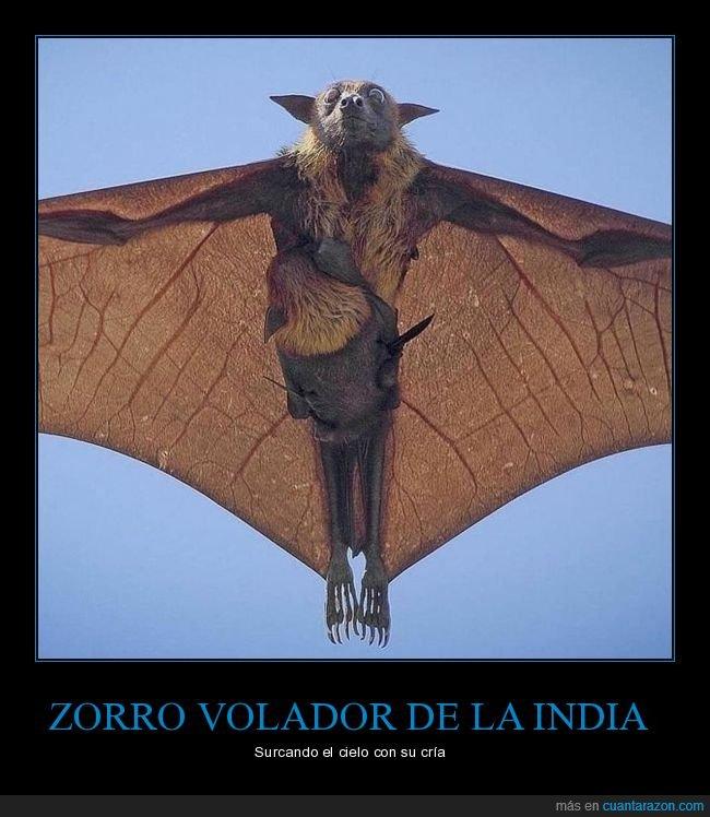 cría,murciélado,zorro volador