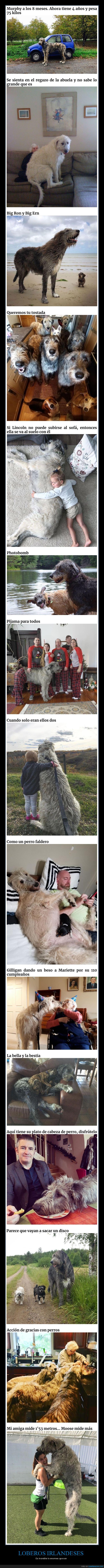 gigantes,loberos irlandeses,perros