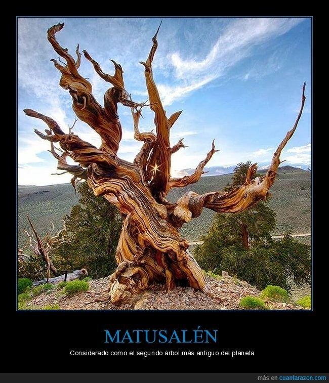 antiguo,árbol,matusalén