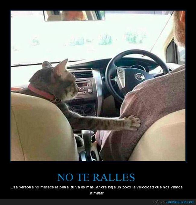 amor,conducir,copiloto,gato