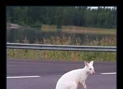 Enlace a Canguro blanco albino