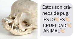 Enlace a Esta comparación de cráneos de perro muestra por qué es crueldad animal adquirir pugs de pura raza