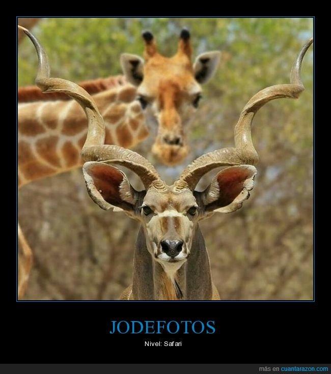 jirafa,kudu,photobomb
