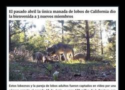 Enlace a La última manada de lobos grises de California sorprende a todos con 3 nuevos lobeznos