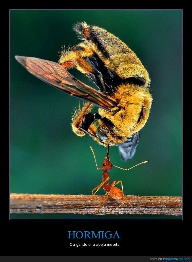 abeja,cargando,furza,hormiga