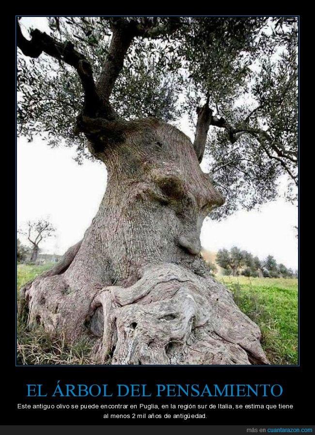 árbol,árbol del pensamiento,curiosidades,italia,olivo