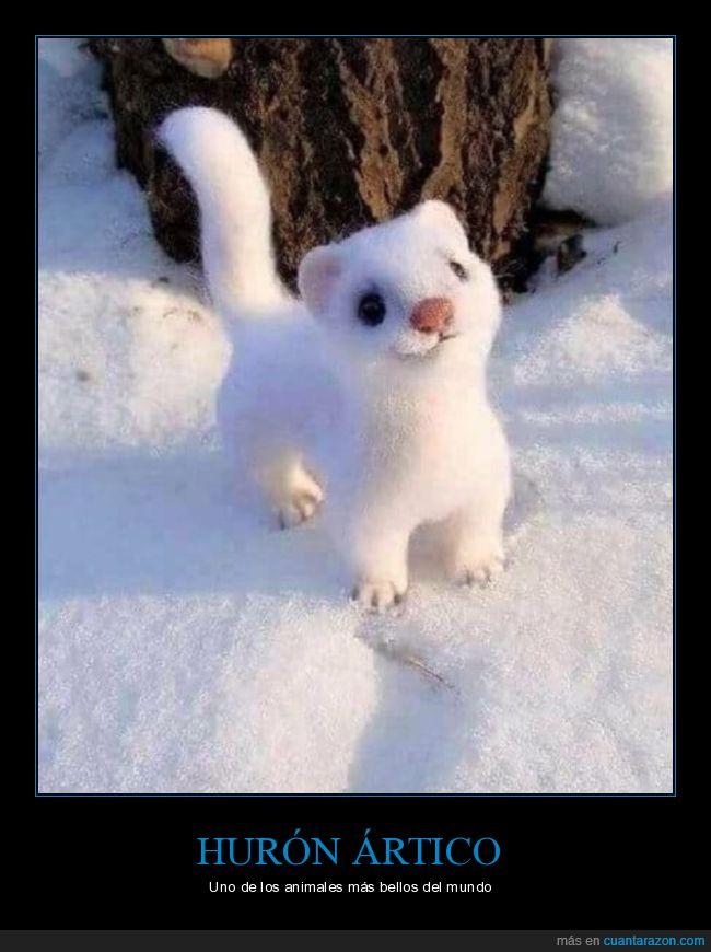 curiosidades,hurón ártico