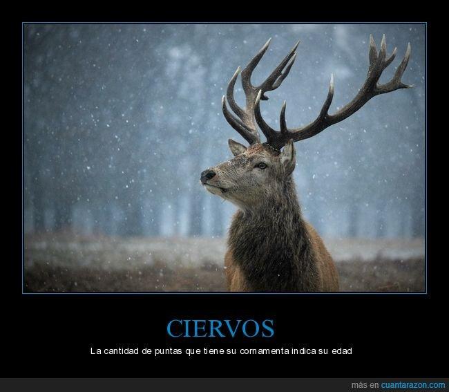 ciervos,cornamenta,curiosidades,edad,puntas