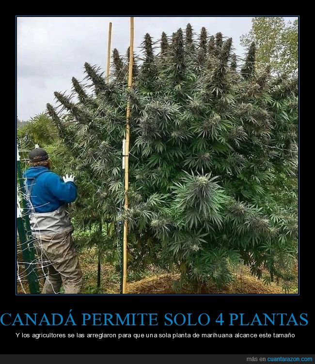 canadá,planta,tamaño