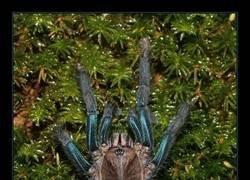 Enlace a Descubren una nueva especie de tarántula de color azul brillante