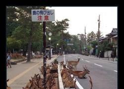Enlace a Los ciervos sagrados de Nara