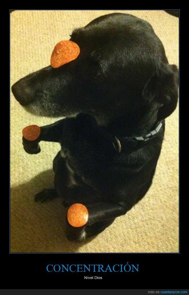 comida,concentración,perro