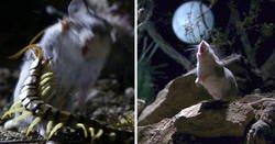 Enlace a Este es el ratón más hardcore que hayas visto: caza escorpiones y aúlla a la luna