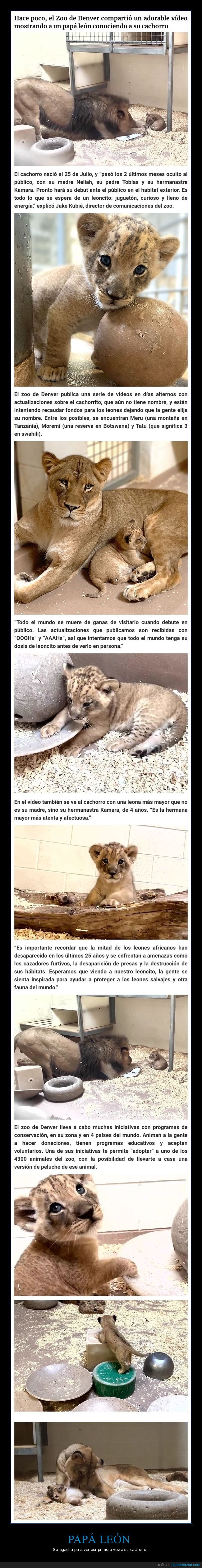 cachorro,león,padre